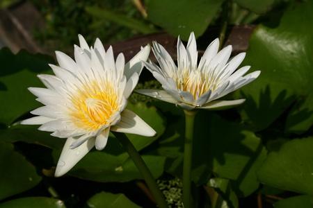 Two White Lotus Blooming Stock Photo - 8939897