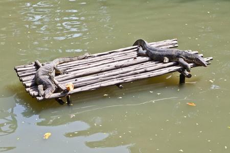 Monitor Lizard resting on a raft photo