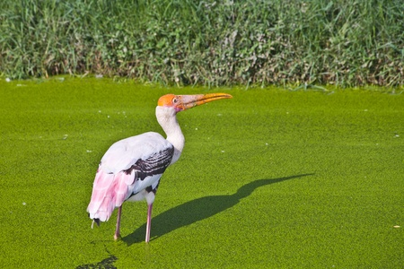 Painted Stork in a green swamp photo