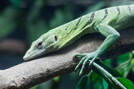 Green lizard on tree close up photo
