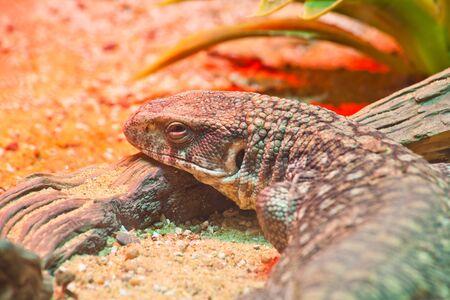 little lizard under red lighting photo