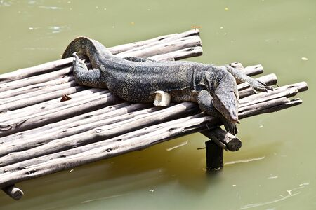 Monitor Lizard resting on a raft photo