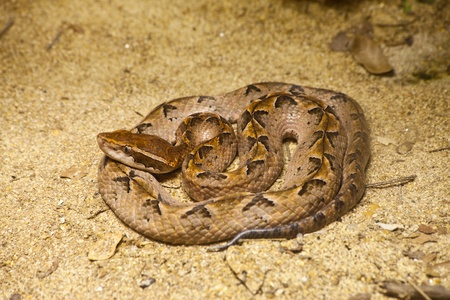 Malayan Pit Viper Snake on sand 写真素材