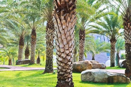 saudi arabia: Palm tree garden