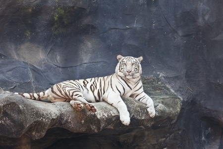 WHITE TIGER on a rock photo