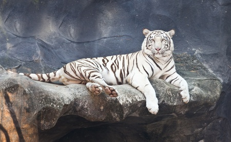 white tigers: White tiger on a rock in zoo