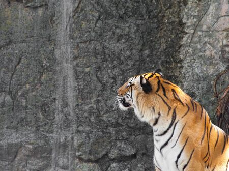 Siberian Tiger in front of the waterfall in a zoo photo