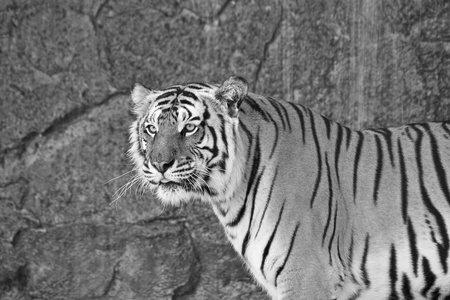 Close up Siberian Tiger in a zoo in black and white photo