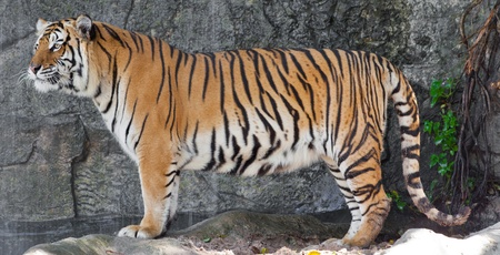 Siberian Tiger in a zoo Stock Photo