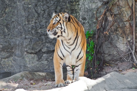 Close up Siberian Tiger in a zoo photo