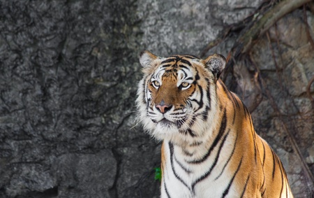 Siberian Tiger in a zoo photo