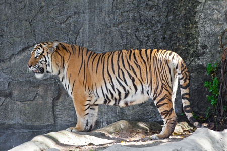 the amur: Siberian Tiger in a zoo Stock Photo