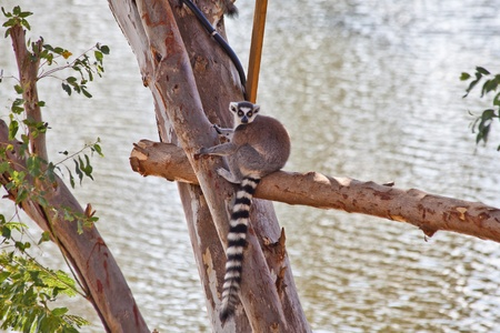 ring-tailed lemur photo