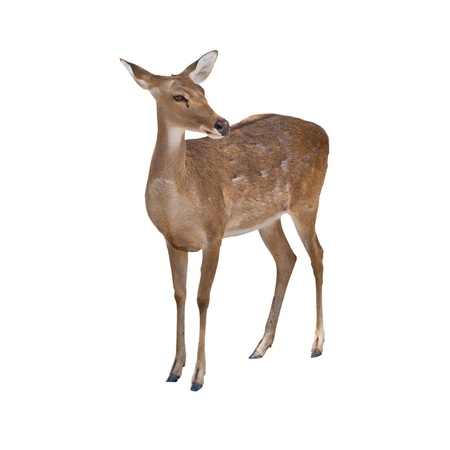 Eld's Deer isolated on white background