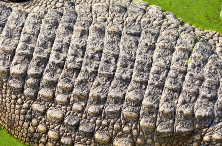 Crocodile skin photo