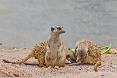 erdmaennchen: A group of meerkat