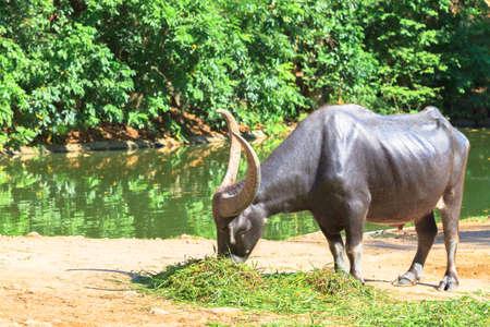 buffalo grass: water buffalo eating grass beside the pool Stock Photo