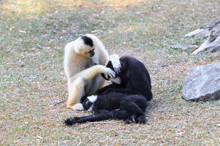 hominid: Northern white-cheeked gibbon playing with each other Stock Photo
