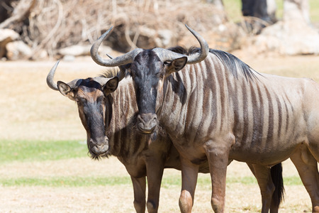 brindled: Brindled wildebeest closeup Stock Photo
