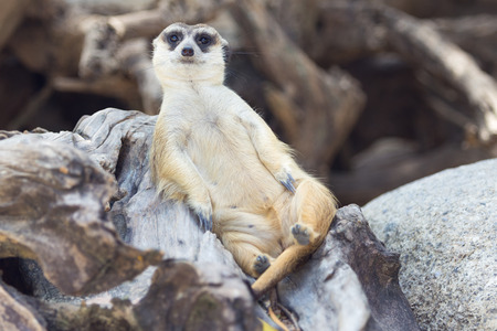 guarding: Meercat relax while guarding Stock Photo