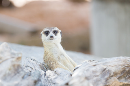 hairy pear: Meercat relax while guarding Stock Photo