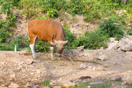 Endangered species in IUCN Red List of Threatened Species Banteng