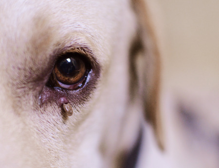 arthropod: Dog ticks on eye