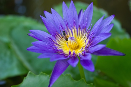 A beautiful purple lotus with the bee Stock Photo - 17041609