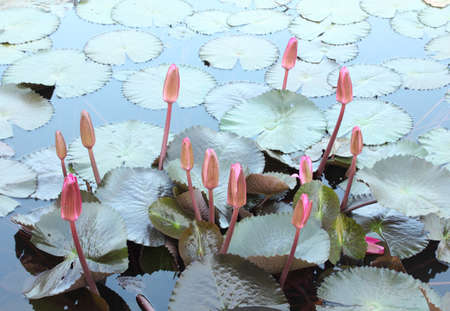 Close Up Shot of  Lotus Pink Buds Stock Photo - 17150024