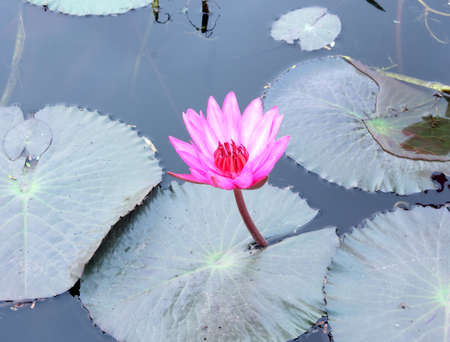 Close Up Shot of Pink Petal Lotus in the Pool  photo