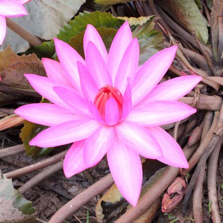 Close Up Shot of Pink Petal Lotus in the Pool Stock Photo - 17150016