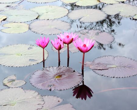 Close Up Shot of Pink Petal Lotus in the Pool Stock Photo - 17150021