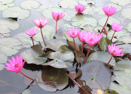 Close Up Shot of Pink Petal Lotus in the Pool Stock Photo - 17150026