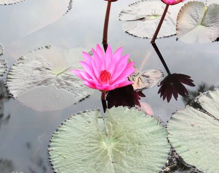 Close Up Shot of Pink Petal Lotus in the Pool Stock Photo - 17150020