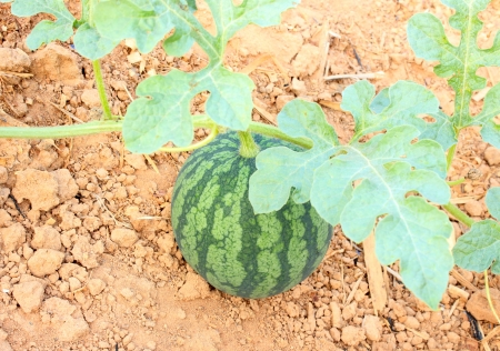 watermelon green Stock Photo
