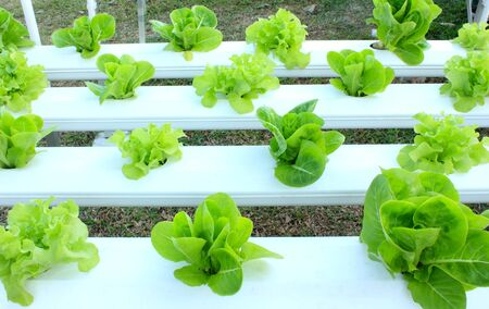 Green hydroponic vegetable