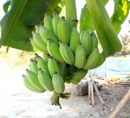 The green bananas still hang on their tree and they stay green for a few days before go yellow and ready to eat  Stock Photo - 17150027