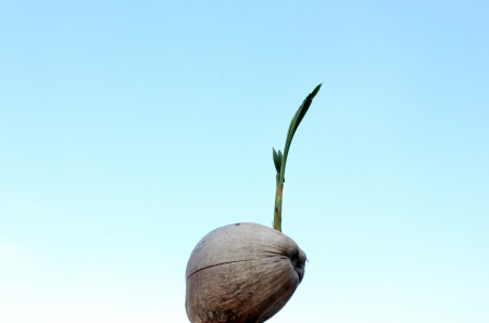 Coconut seedling against sky photo