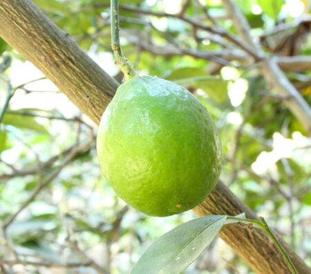 a green lemons on a tree Stock Photo - 17150004