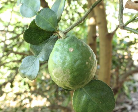 Kaffir Lime or Bergamot fruit on tree Stock Photo - 17150030