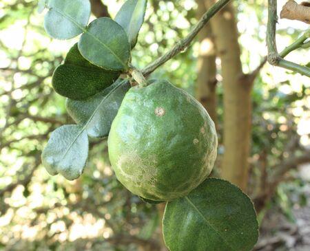 Kaffir Lime or Bergamot fruit on tree Stock Photo - 17150030