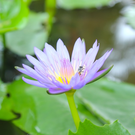 A beautiful purple lotus with the bee Stock Photo