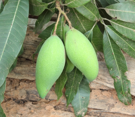 Green Mangoes on the tree in garden