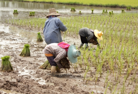 Farmer planting on rice field in Thailand Stock Photo