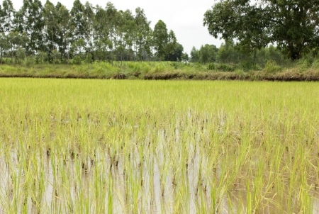 field rice and the  sky in the thailand photo