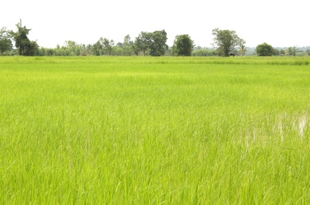 field rice and the  sky in the thailand