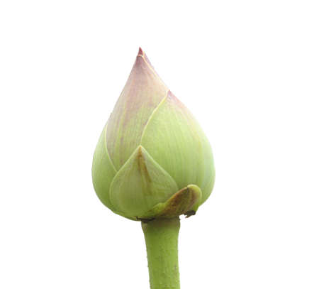 Lotus buds on a white background
