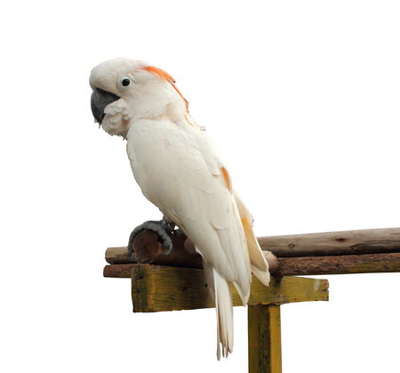 Parrot on a white background.