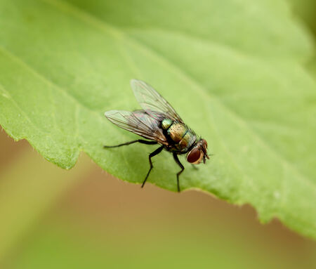 Insect fly macro on leaf Stock Photo