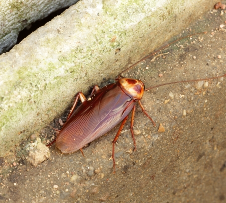 Brown Cockroach on the cement floor